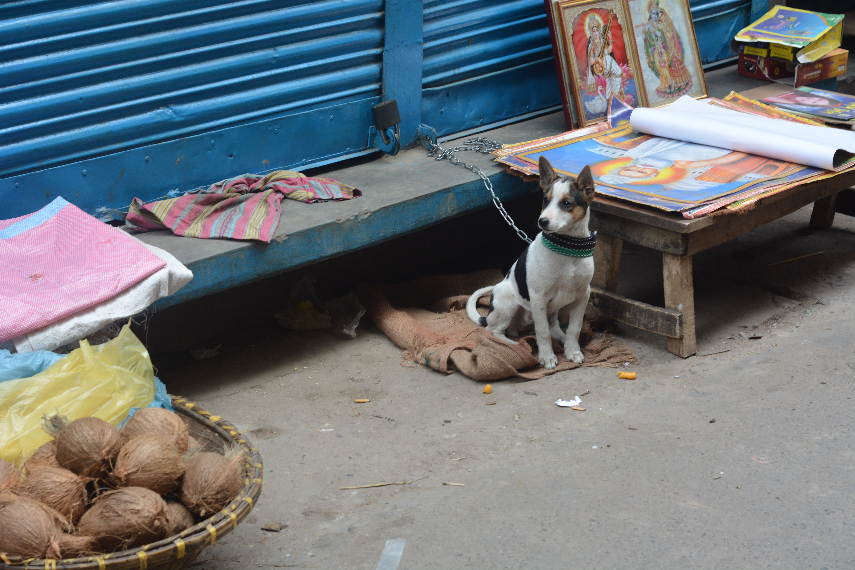hindu_street_dog
